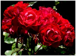 roses for anniversary